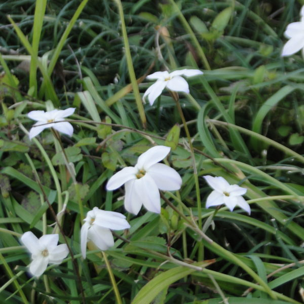 Image Related To Tristagma uniflorum syn. Ipheion uniflora (Spring Starflower)