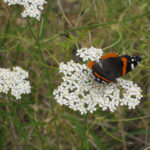 Image Related To Achillea borealis formerly Achillea millefolium (American Yarrow or American Thousandleaf)