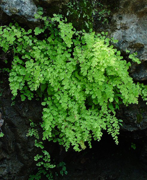 Image Related To Adiantum capillus-veneris (Southern Maidenhair Fern)