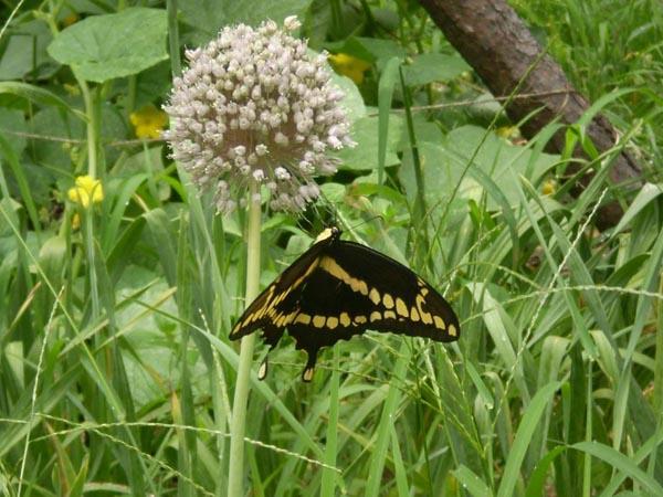 Image Related To Allium ampeloprasum (Wild Leek  aka Garlic)
