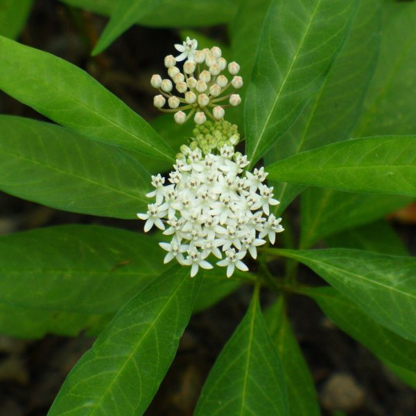 Image Related To Asclepias perennis (Swampforest Milkweed) 3.5″