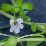 Image Related To Bacopa monnieri (Herb-of-Grace or Monnier's Water Hyssop)