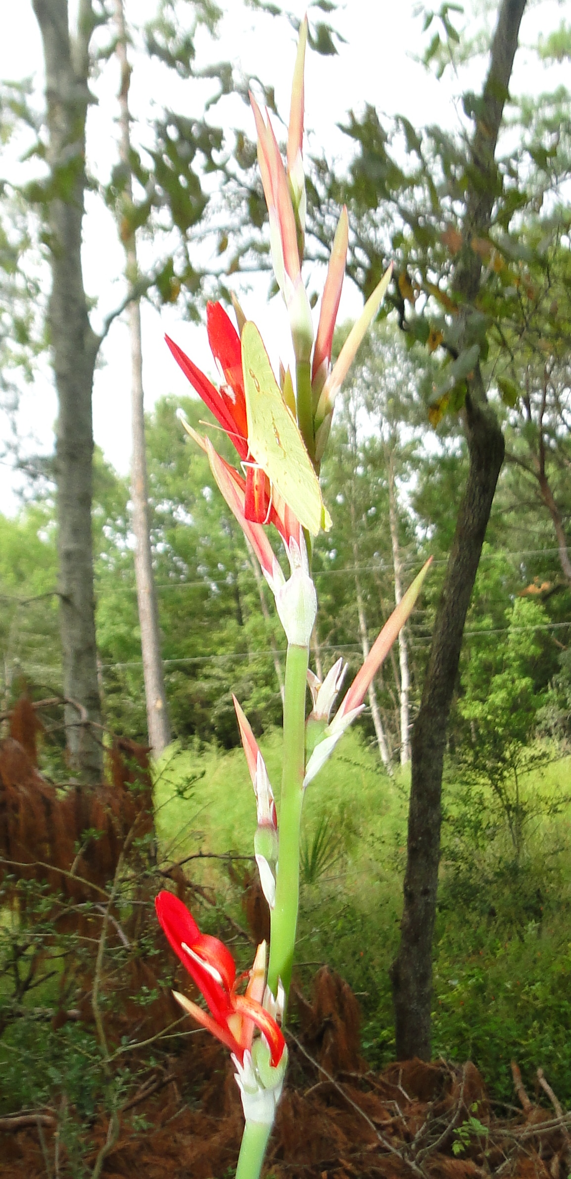 Image Related To Canna indica (Indian shot/Platanillo/Achira)
