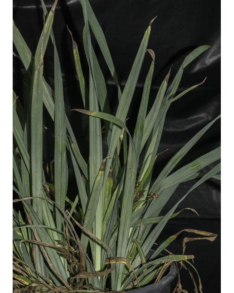 Image Related To Carex flaccoperma (Blue Woodland Sedge) 3.5″