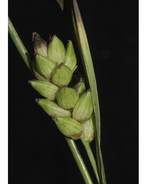 Image Related To Carex flaccoperma (Blue Woodland Sedge)