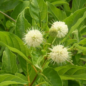 Cephalanthus occidentalis (Buttonbush)