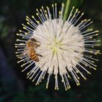 Image Related To Cephalanthus occidentalis (Buttonbush)