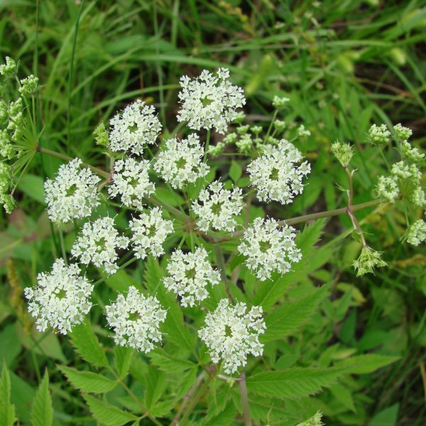 Image Related To Cicuta maculata var. maculata (Water Hemlock)