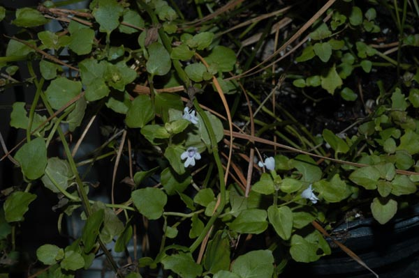 Image Related To Clinopodium brownei (Browne's Savory) 3.5″