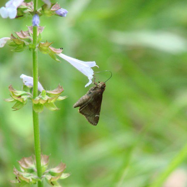Image Related To Salvia lyrata (Lyreleaf Sage) 3.5″