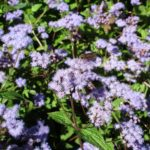 Image Related To Conoclinum coelestinum (Hardy Ageratum)