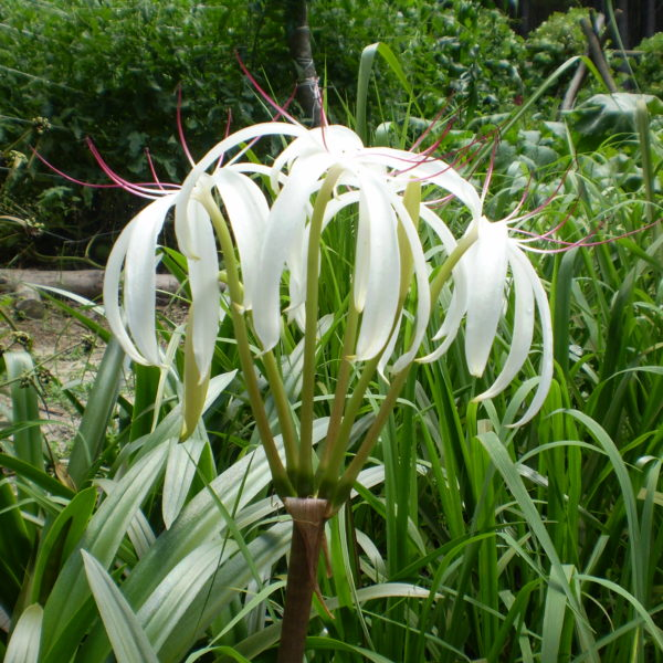 Image Related To Crinum americanum (Swamp Lily) 1g