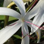 Image Related To Crinum americanum/ Crinum erubescens (Swamp Lily)