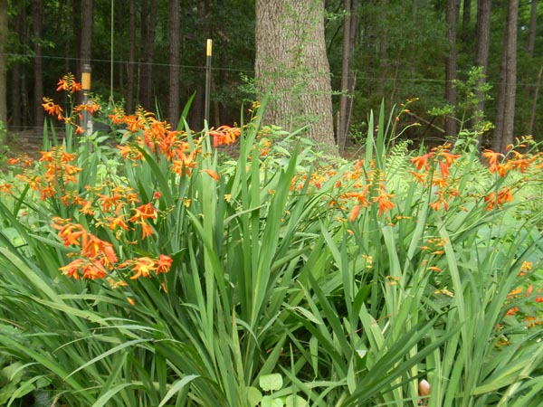 "Image Related To Crocosmia x crocosmiiflora  ""Mary Alice"" ( ""Mary Alice's  Montbretia"")"