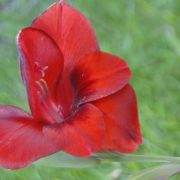 Image Related To Gladiolus sp. 'Colleton Cherry' ('Colleton Cherry' Heirloom Gladiola) 1g