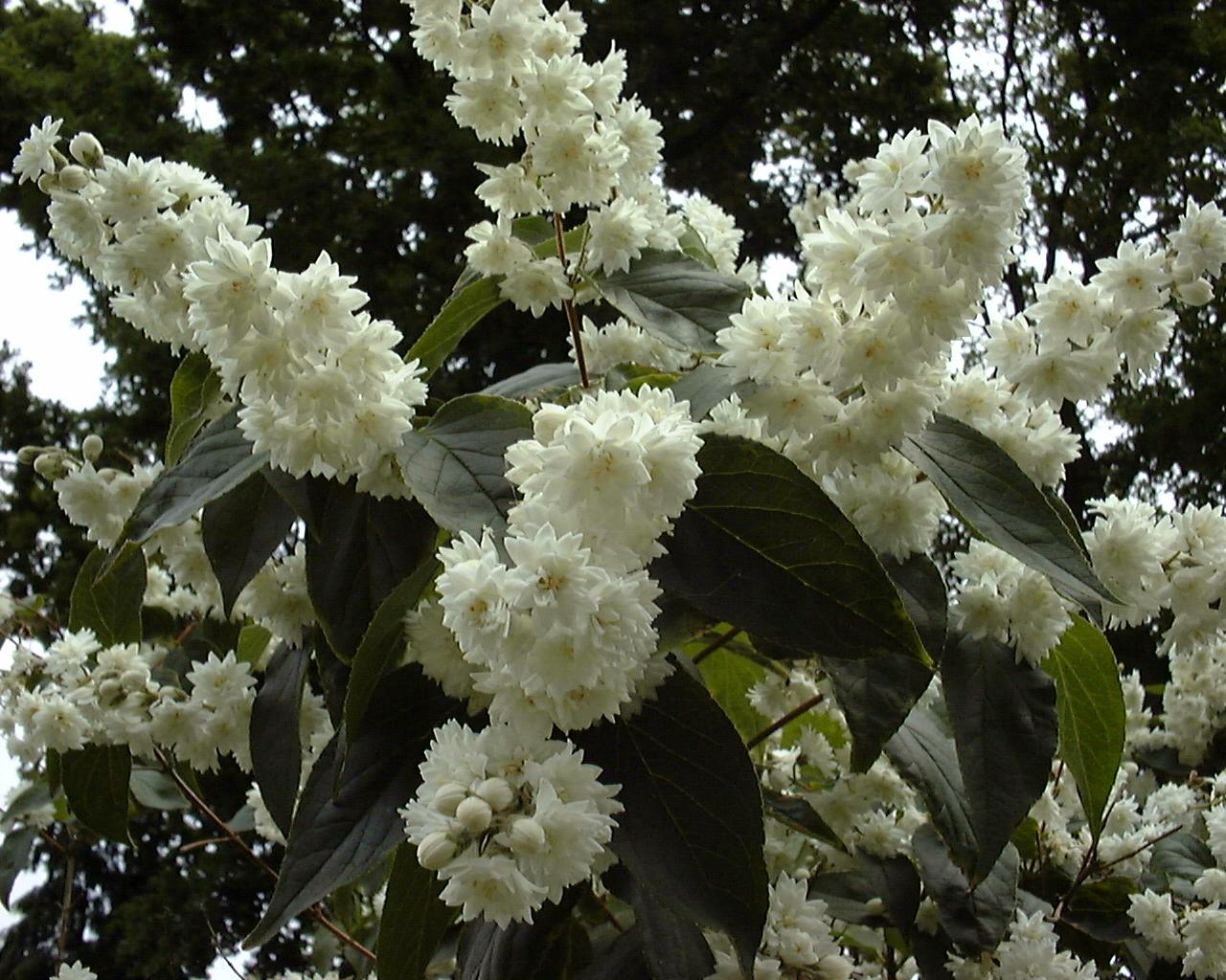 Image Related To Deutzia scabra (Fuzzy Deutzia)