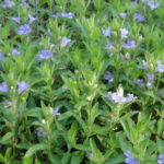 "Image Related To Dyschoriste oblongifolia ""Laurel Bay"" (""Laurel Bay"" Pineland Twinflower)"