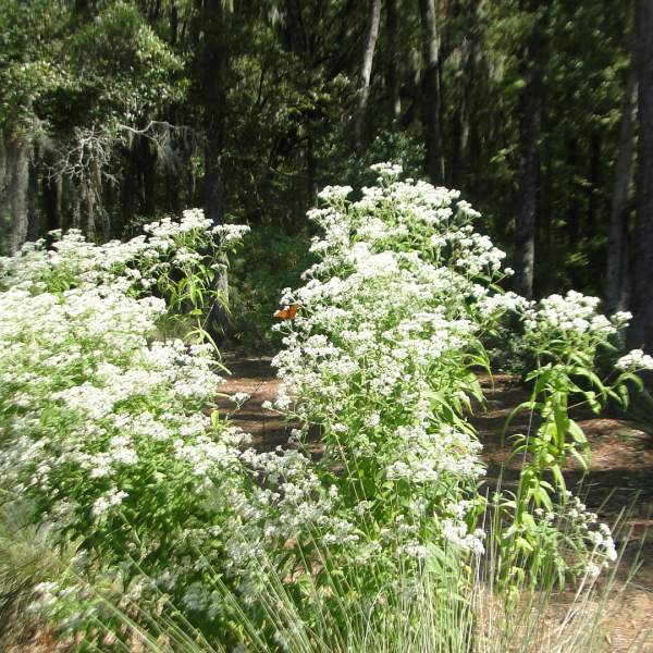 Image Related To Eupatorium perfoliatum (Boneset) 1/2g