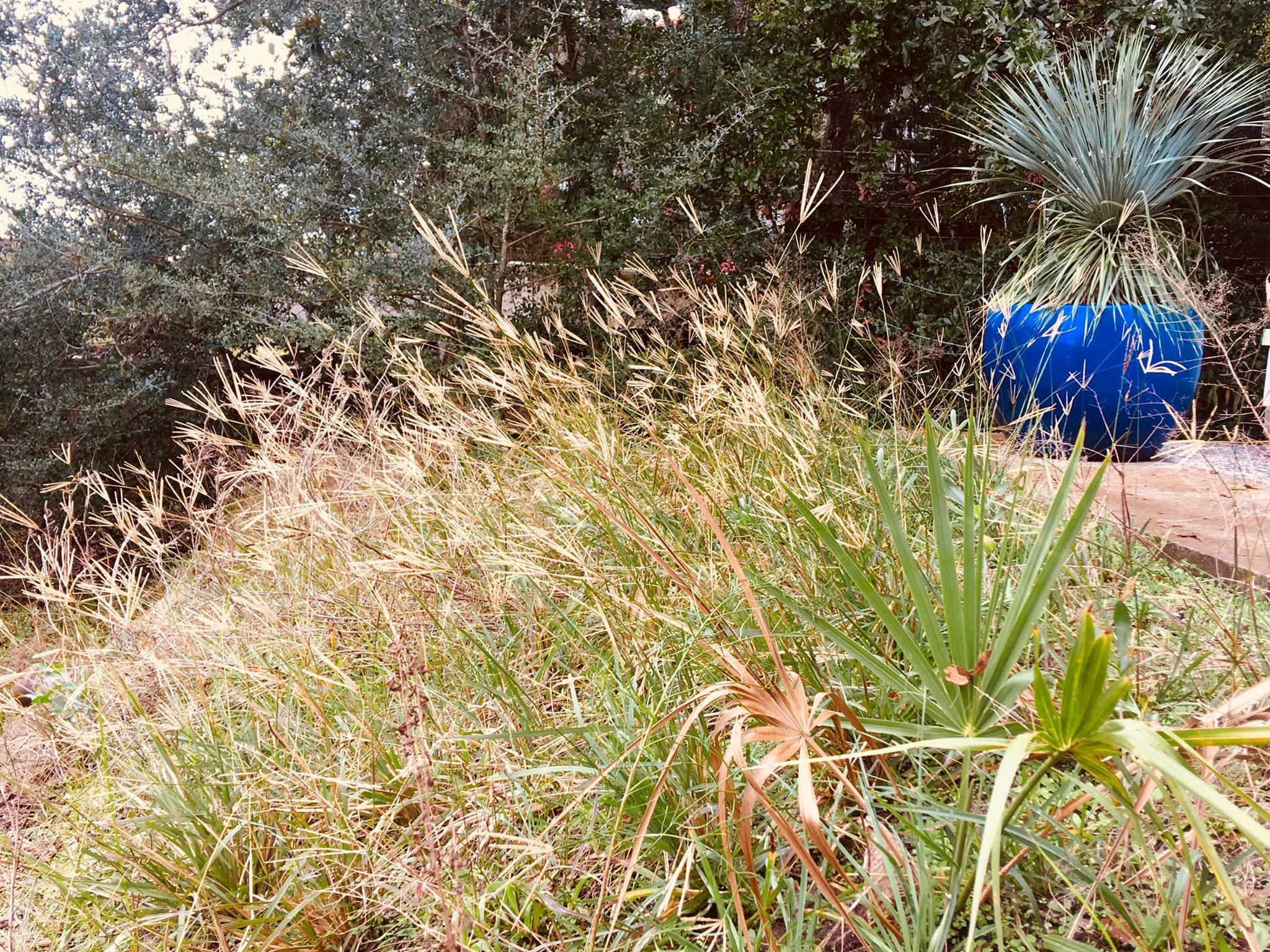Image Related To Eustachys petraea (Dune Finger-grass)