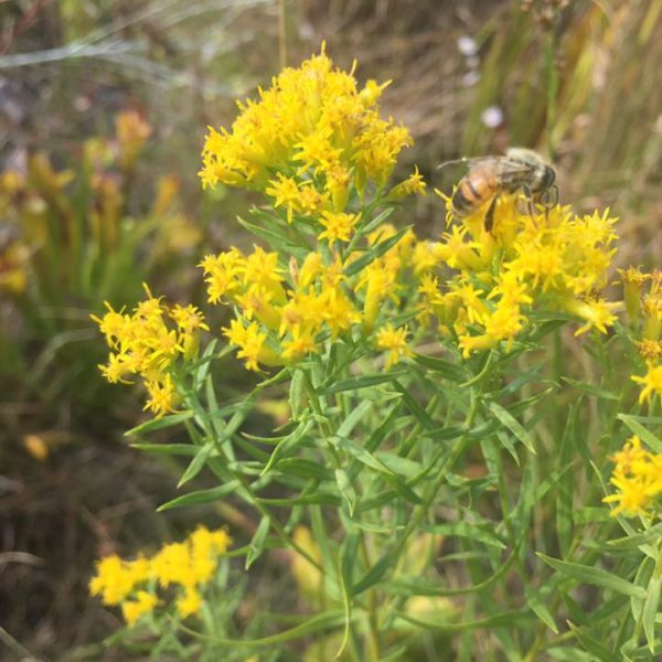 Image Related To Euthamia sps. (Flat-topped Goldenrod) 3.5″