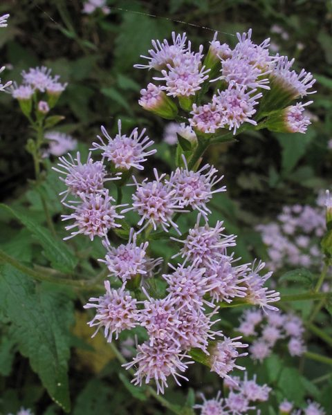 Image Related To Fleischmannia incarnata (Pink Thoroughwort) 3.5″