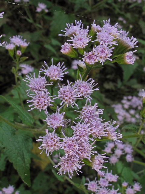 Image Related To Fleischmannia incarnata (Pink Thoroughwort)