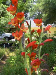 Image Related To Gladiolus dalenii ssp. dalenii (Parrot Gladiola)