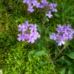 Image Related To Glandularia canadensis syn Verbena canadensis (Rose Vervain or Rose Verbena)