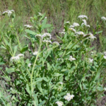 Image Related To Heliotropium curassavicum (Seaside Heliotrope)