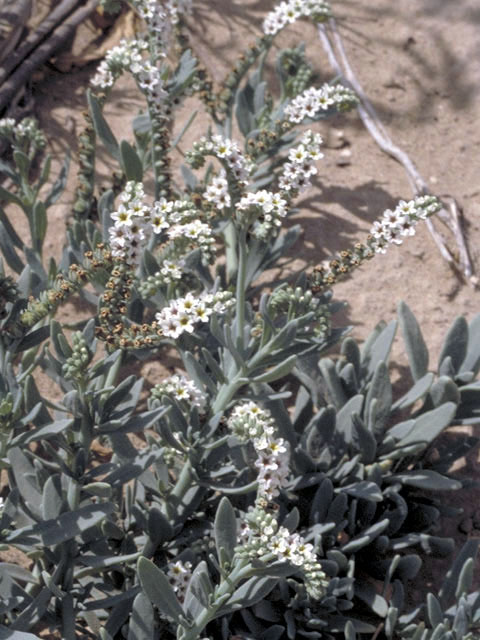 Image Related To Heliotropium curassavicum (Seaside Heliotrope)