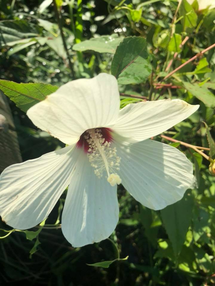 Hibiscus Moscheutos Eastern Rose Mallow Naturescapes Of Beaufort Sc