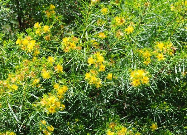 Image Related To Hypericum densiflorum (Coastal Plain Bushy St. John's Wort )