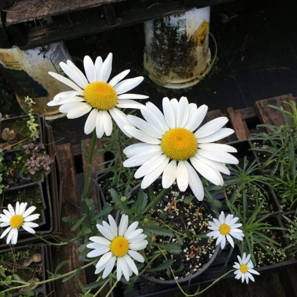 Image Related To Leucanthemum vulgare (Oxeye Daisy) 3.5″