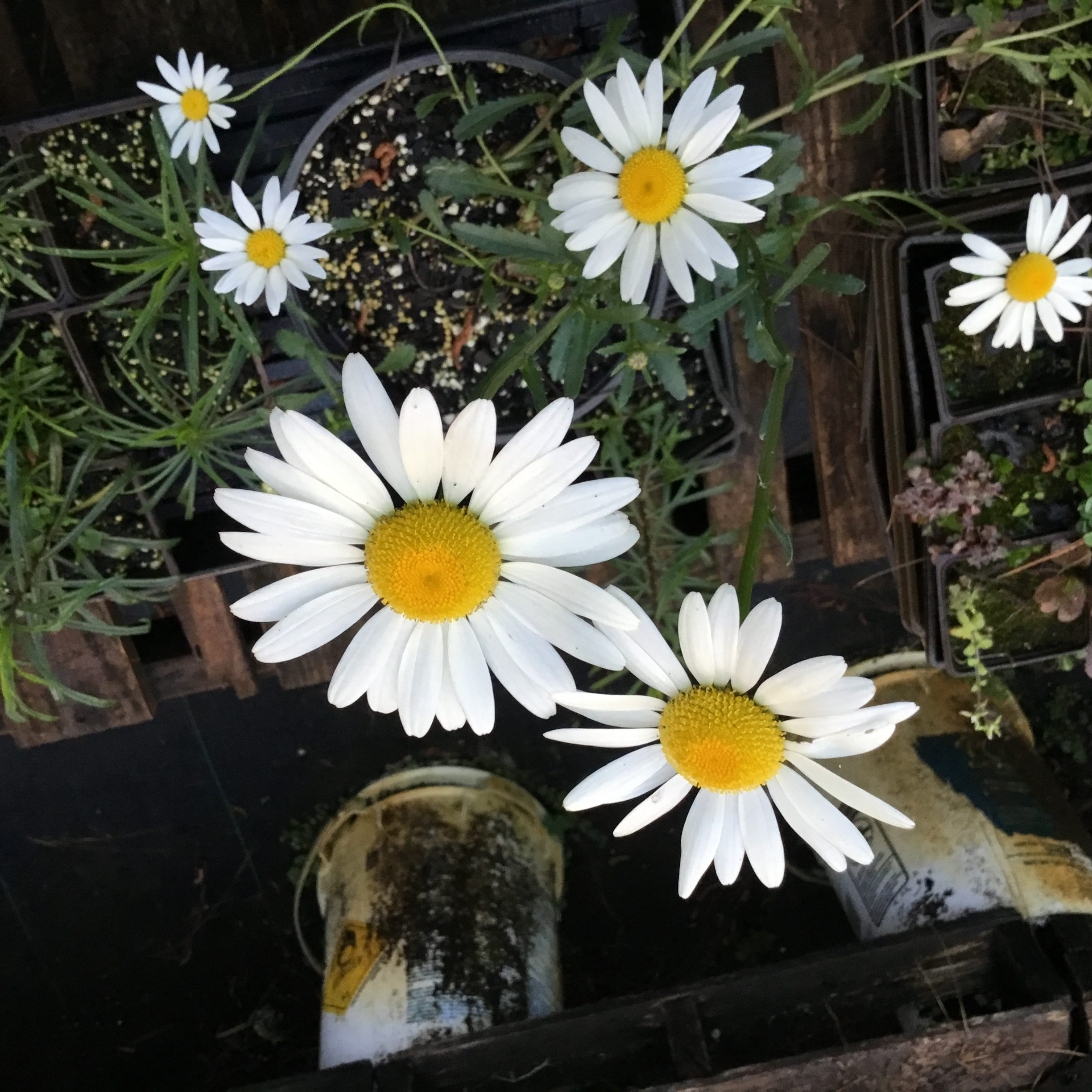 Image Related To Leucanthemum vulgare (Oxeye Daisy)