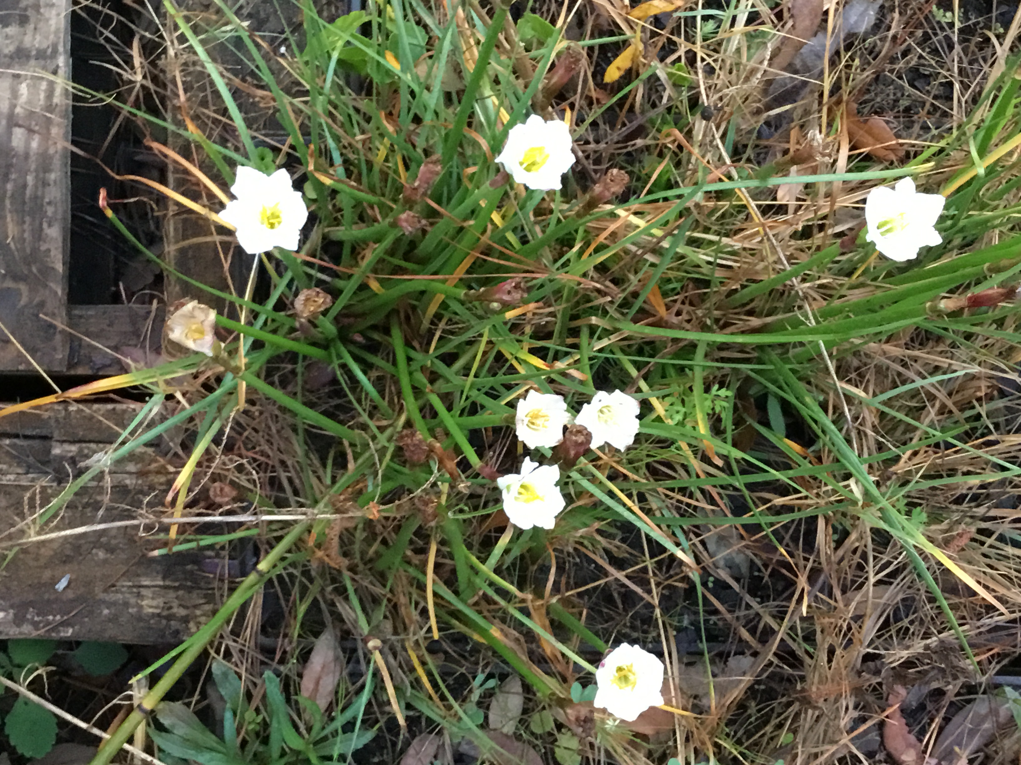 Image Related To Zephyranthes simpsonii (Simpson's Rainlilies)