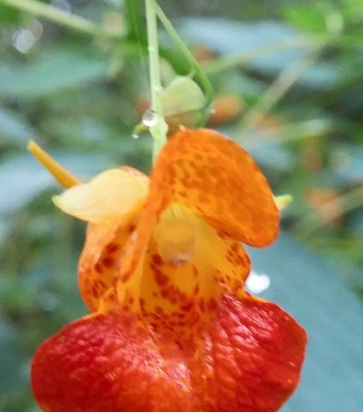 Image Related To Impatiens capensis ( Spotted Jewelweed or Spotted Touch-me-not)