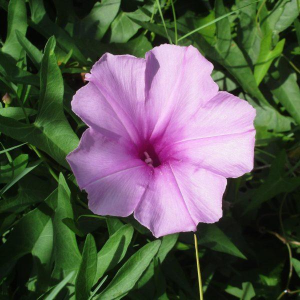 Image Related To Ipomoea sagitatta (Saltmarsh Morning-glory) 3.5″ pot