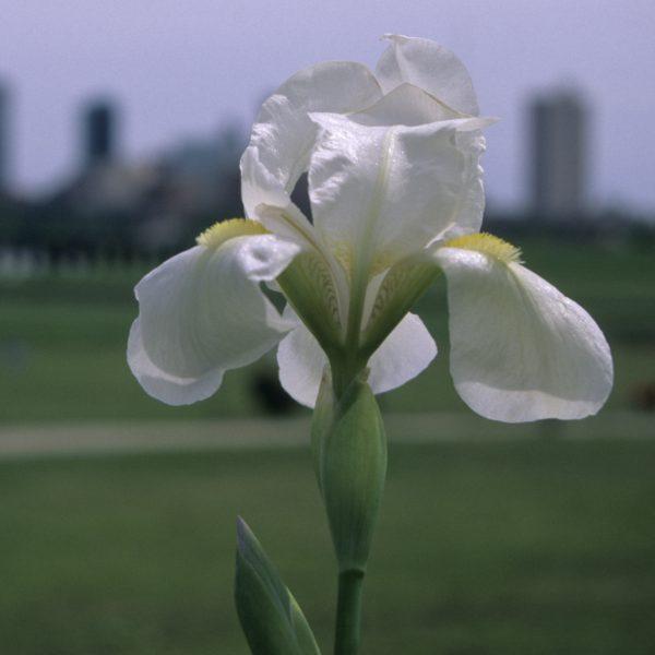 Image Related To Iris x albicans (White Cemetary Iris)