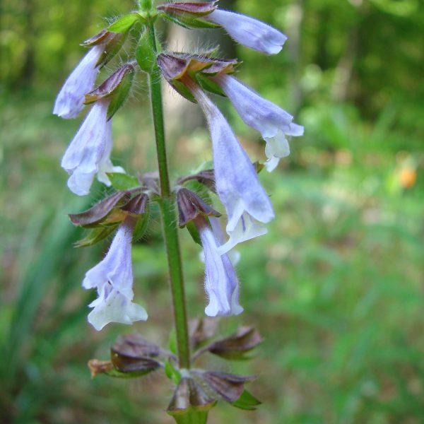 Image Related To Salvia lyrata (Lyreleaf Sage)