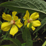 Image Related To Lysimachia ciliata (Fringed Loosestrife)