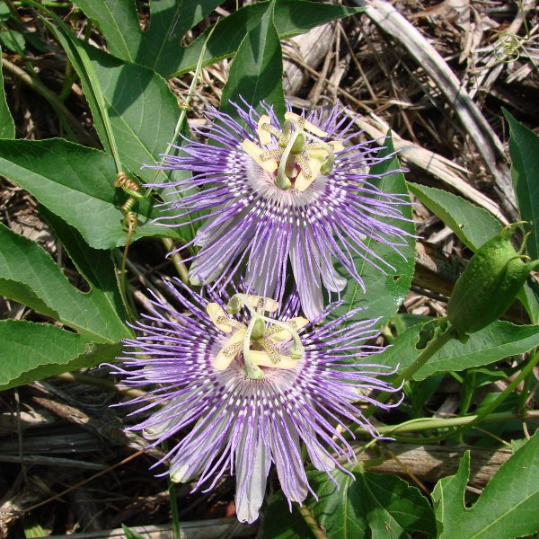 Image Related To Passiflora incarnata (Maypop or Native Passionflower)
