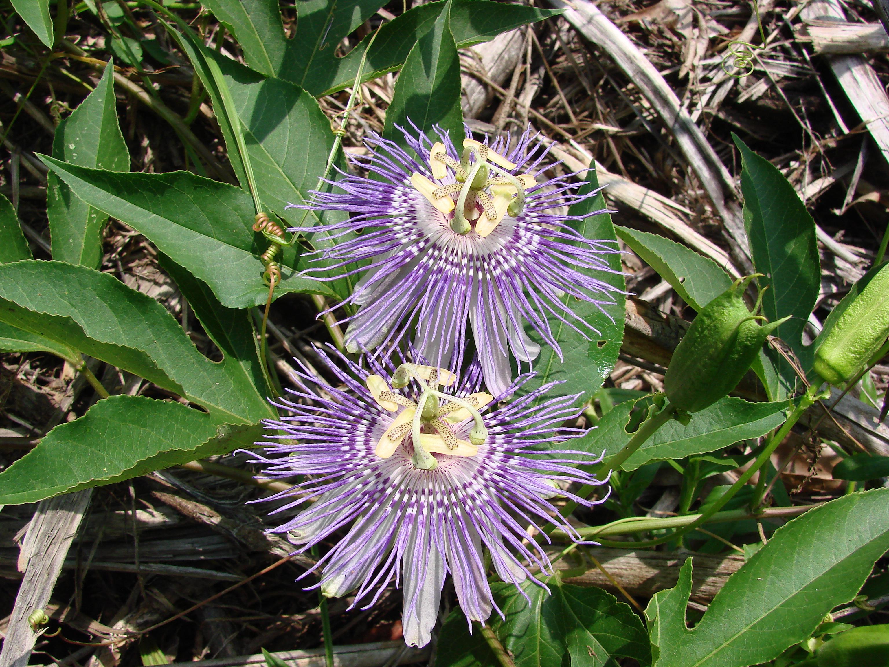 Image Related To Passiflora incarnata (Maypop or Native Passionflower)