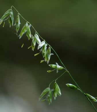 Image Related To Melica mutica (Two-flower Melic Grass)