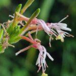 Image Related To Oenothera simulans aka Gaura angustifolia (Southern Beeblossum or Morning-honeysuckle)