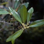 Image Related To Osmanthus americanus/ Cartrema americana (Devilwood/Wild Olive)