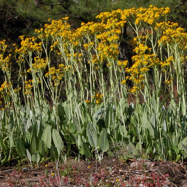 Image Related To Packera tomentosa syn. Senecio tomentosus) (Woolly Groundsel) 3.5″