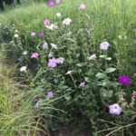 Image Related To Petunia x hybrida (Old-fashioned Reseeding Petunias)