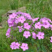 Image Related To Phlox carolina (Carolina Phlox) 3.5″