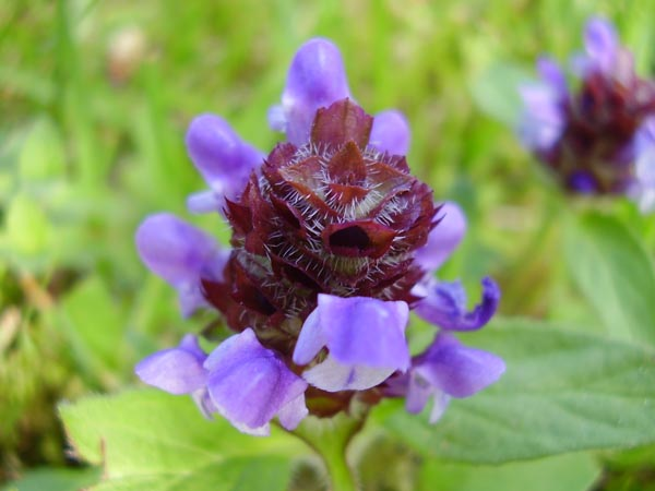 Image Related To Prunella vulgaris var. lanceolata (American Self-heal or American Heal-all)