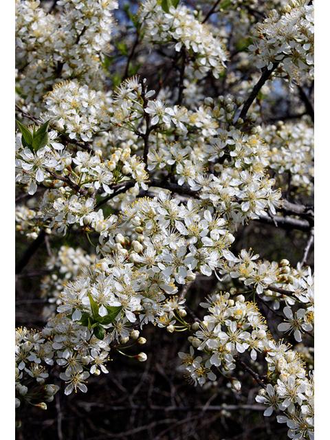 Image Related To Prunus americana (American Plum)